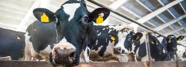 Zdravé krávy